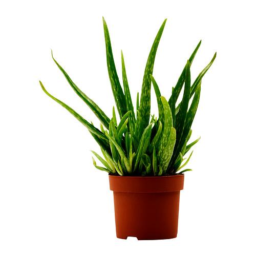 aloe-vera-potted-plant__0173210_PE327299_S4.JPG