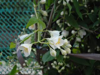 jasmine-flower_19-117506.jpg