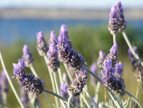 lavender_closeup_198911.jpg